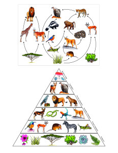 Africa. Food Web and Pyramid-01